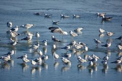 Nursery of water birds on a frozen river Royalty Free Stock Images