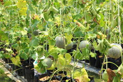 Nursery water melon plant on green house Royalty Free Stock Photo