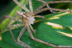A nursery web spider Stock Photo