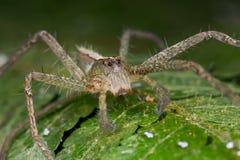 A nursery web spider Stock Photos