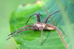 Nursery-web Spider Royalty Free Stock Photography