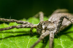 Nursery Web Spider Stock Image