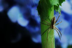Nursery Web Spider Stock Photos