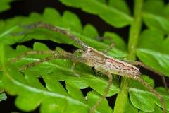 A nursery web spider on fern leaf Stock Photography