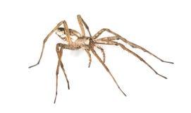 Nursery web spider (pisaura acoreensis) Stock Photo