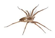 Nursery web spider (pisaura acoreensis) Stock Photos