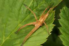 Nursery web spider (Pisaura mirabilis) Royalty Free Stock Photos