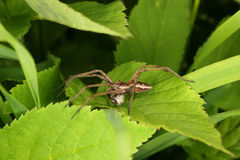 Nursery web spider (Pisaura mirabilis) Royalty Free Stock Images