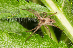 The nursery web spider / Pisaura mirabilis Stock Photo
