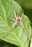 The nursery web spider / Pisaura mirabilis Stock Image