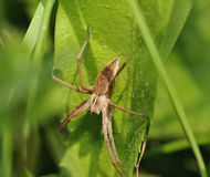 Nursery Web Spider Royalty Free Stock Images