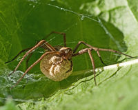 The nursery web spider Pisaura mirabilis royalty free stock photography