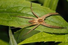 Nursery web spider (Pisaura mirabilis) Royalty Free Stock Image