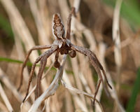 The nursery web spider Pisaura mirabilis Stock Photos
