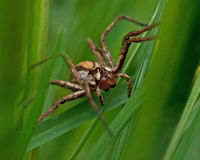 The nursery web spider Pisaura mirabilis Stock Photography