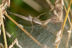 A Nursery Web Spider. Royalty Free Stock Image