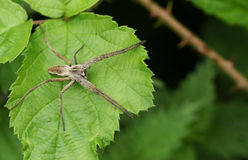 A Nursery Web Spider Pisaura mirabilis sitting on a leaf. Royalty Free Stock Photos