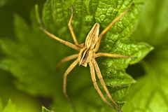 Nursery web spider Royalty Free Stock Photography