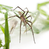 Nursery web spider, Pisaura mirabillis Royalty Free Stock Images