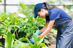 Nursery worker greenhouse Royalty Free Stock Image
