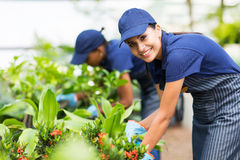Nursery worker plants Royalty Free Stock Photography