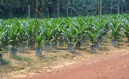 Nursery for young palm oil trees in Malaysia Royalty Free Stock Images
