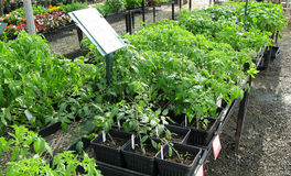 Nursery - Young Tomato Starts Royalty Free Stock Photography