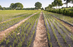 Nursery with young trees growing from cuttings. In long beds covered with agricultural plastic film grow the tree cuttings into large trees at the arboriculture stock photos