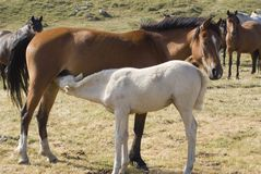Nursing. A foal nursing in a pasture. Location Vercors in France Stock Images