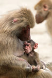 Nursing baboon Royalty Free Stock Photography