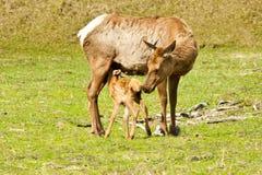 Nursing Baby Elk Stock Image