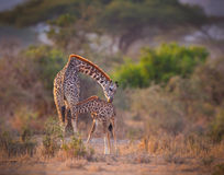 Mother giraffe nurses her calf in morning. Royalty Free Stock Photos