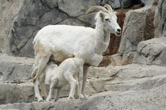 Nursing Baby Goat Stock Images