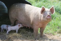 Nursing baby pig. Mother and baby pig, lunchtime Stock Photo