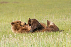 Nursing Bear Royalty Free Stock Images