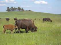 Nursing Bison Royalty Free Stock Image