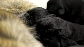 Nursing black pupies stock footage