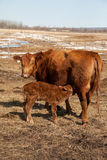 Nursing Calf with Cow. A day old calf nursing from its mother Royalty Free Stock Images