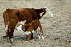 Nursing Calf. A calf nurses on the Wyoming prairie Royalty Free Stock Image