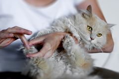 Nursing a cat. A woman holding and nursing a long haired cat Royalty Free Stock Photos