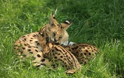 Nursing cheetah Royalty Free Stock Photo