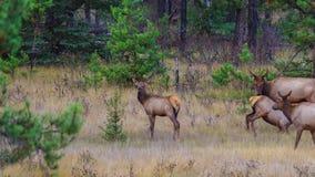 Nursing deers stock video footage