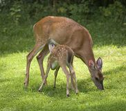 Nursing fawn Royalty Free Stock Photos