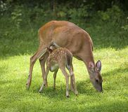 Nursing fawn Royalty Free Stock Photo
