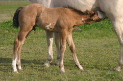 Nursing Foal. Buckskin paint foal nursing, white quarter horse mare, green pasture, spring Stock Photos