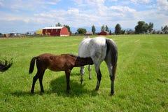 Nursing foal Royalty Free Stock Image