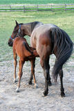 Nursing Foal royalty free stock images