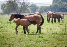 Nursing foal Stock Photos