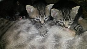 Nursing Kittens Royalty Free Stock Photo