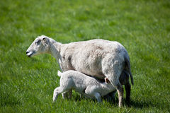 Nursing Lamb Royalty Free Stock Photos